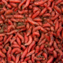 Red Maggots - Live Fresh Bait Fishing